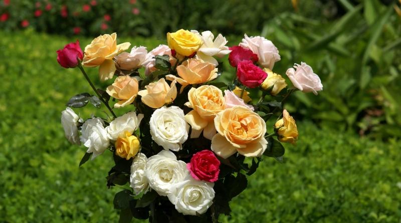 róże cięte
